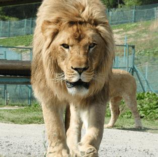 放し飼い:ライオン